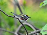 Chestnut-sided warbler1