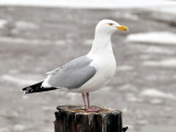 Herring Gull in Two Rivers Harbor