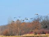 Tundra swans Fond du Lac County WI