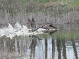 goose takeoff1.JPG