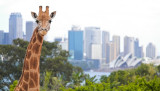 Giraffe and Opera House
