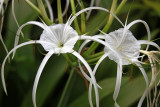 Hymenocallis 'Tropical Giant'
