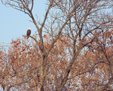 Bald Eagle, Potomac River, near The Lincoln Memorial