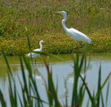 Great Egret and a Snowy Egret