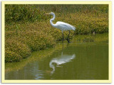 Great Egret with Yellow Flowers