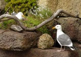 Nesting Gulls - Baby Under Wing