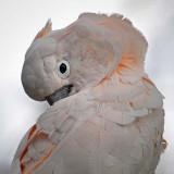 Cockatoo Face