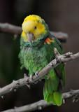 Yellow Headed Parrot
