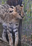 Serval Pacing