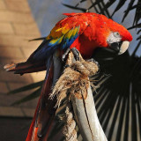 Scarlet Macaw Stare