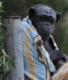 Blanket Chimp