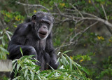 Chimp with Leaves