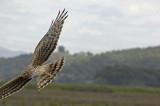 Harrier Goes Off Screen