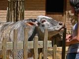 Feeding the Zebu