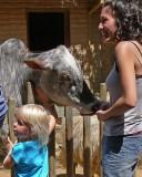 Daddy, Can I Feed the Cow?  Ha, Ha