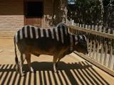 Striped Zebu