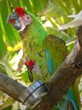 Macaw With Strawberry Treat