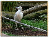 Cattle Egret at the Rope