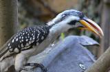 Hornbill Lashes
