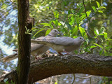 Ringed Turtle Doves