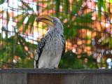 African Yellow Hornbill