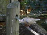 Dove Walks the Tightrope