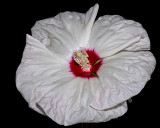 Hibiscus Texture