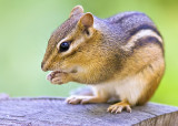 Chipmunk Reflects