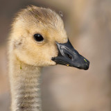 Gosling Portrait