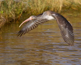 White Ibis Flight