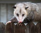 Opossum Posing