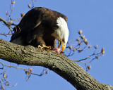 Bald Eagle in Morning Light