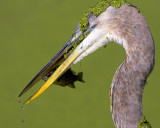Blue Heron Catch