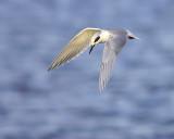 Fishing Tern