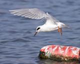 Departing Tern