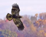 Juvenile Eagle Flight