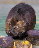 Beaver Emotion