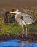 Blue Heron's Evening Light