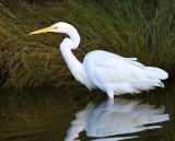 Stoic Egret