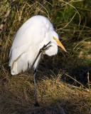 Friendly Egret