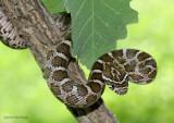 Great Plains or Emory's Ratsnake - Elaphe guttata emoryi