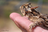 Moving a horned lizard off the roadway...