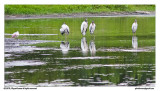 Four storks and a spoonbill