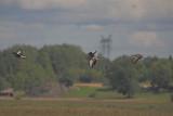 Grågäss (Greylag Goose)