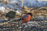 Domherre (Bullfinch)