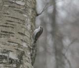 Trädkrypare (Treecreeper)