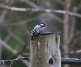 Mindre hackspett (Lesser Spotted Woodpecker)