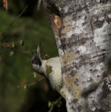 Gröngöling (Green Woodpecker)