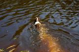 A dip in the Tahquamenon River