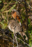 Dark-throated Seedeater and Long-tailed Ground Dove